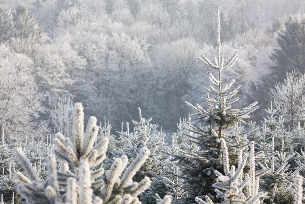 Baumschule Weihnachtsbäume Weihnachtsbaum