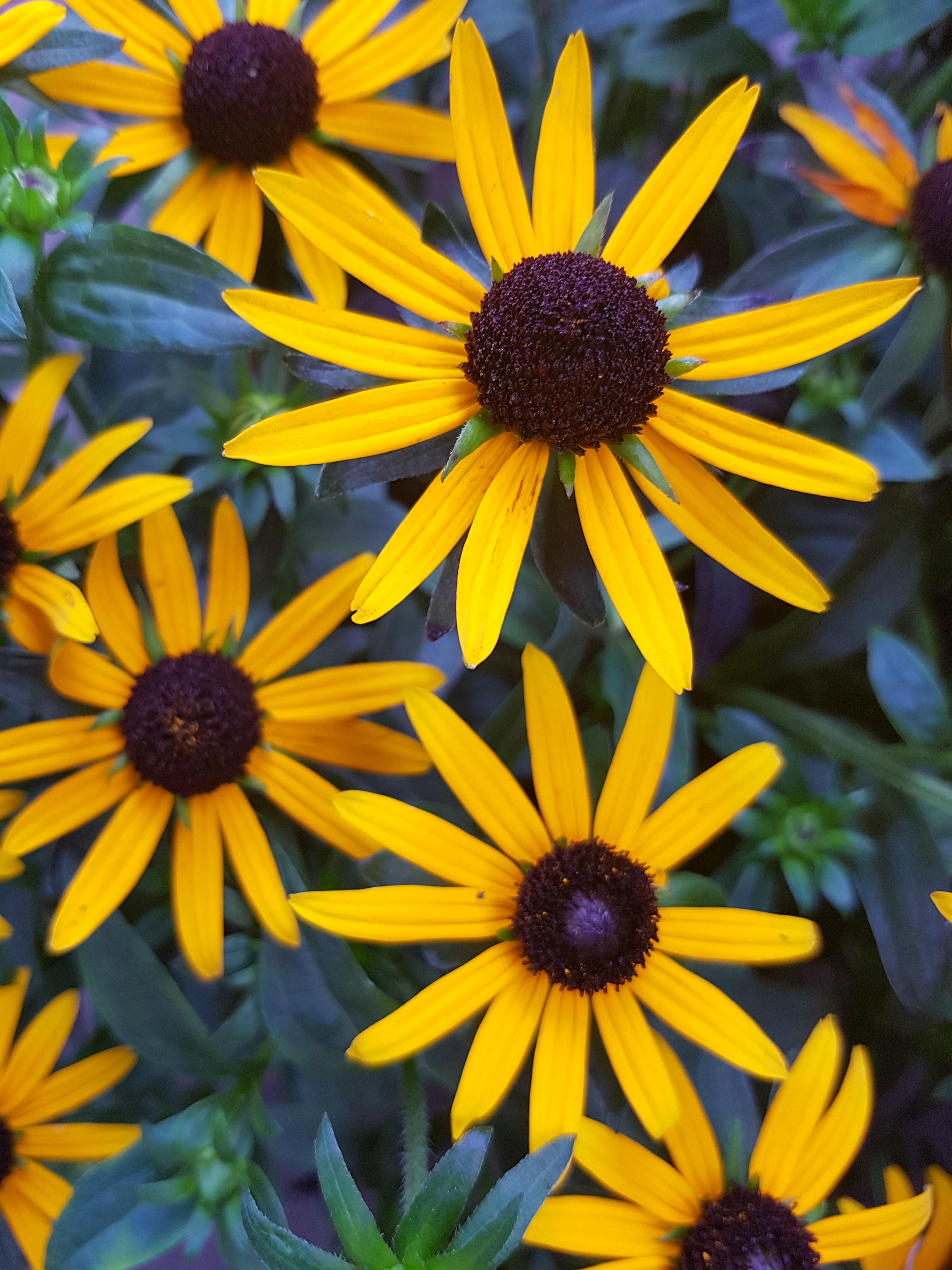 sternenblumen-_-gelb
